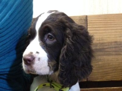 English Springer Spaniel female puppy