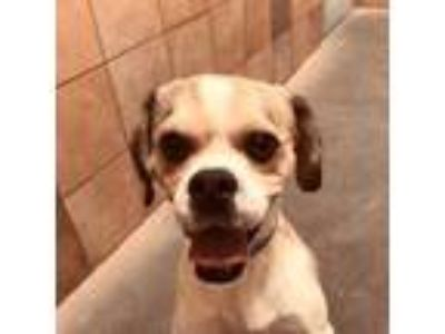 Adopt *BINGO a Brown/Chocolate - with White Pug / Beagle / Mixed dog in Las