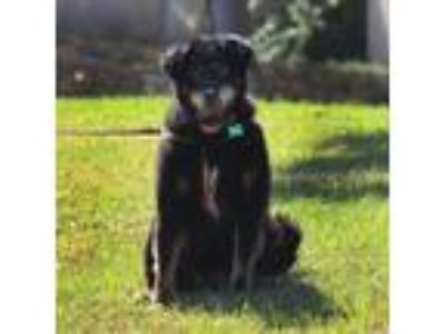Adopt Woody a Black - with Tan, Yellow or Fawn German Shepherd Dog / Mixed dog