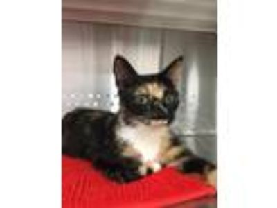 Adopt Naomi a Domestic Shorthair / Mixed (short coat) cat in Washburn