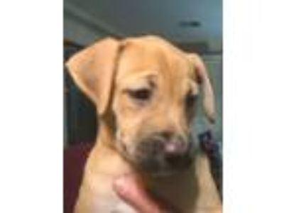 Adopt Toffee a Black Mouth Cur, Shepherd