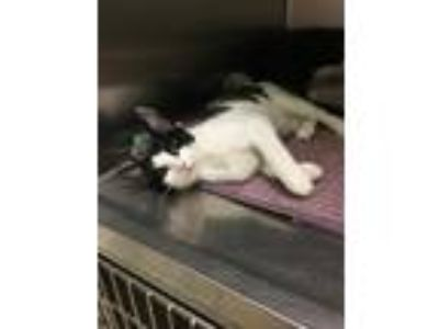 Adopt Edal (Available Saturday, 6/15/19) a Domestic Shorthair / Mixed cat in