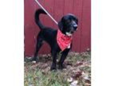 Adopt Leia a Basset Hound, Labrador Retriever