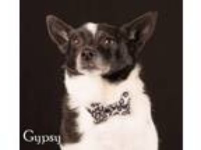 Adopt Gypsy a Rat Terrier