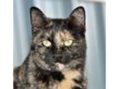 Adopt FORTUNE a Tortoiseshell Domestic Mediumhair / Mixed (medium coat) cat in