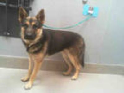 Adopt *CHIPPER a Brown/Chocolate - with Black German Shepherd Dog / Mixed dog in