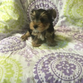 Puppy For Sale Classifieds In Cycle Nc Clazorg