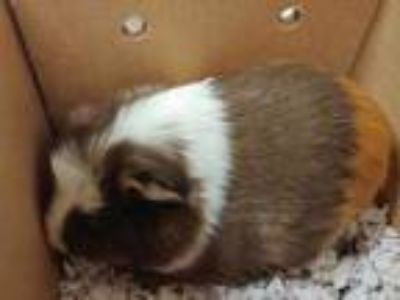 Adopt Caramel a Tan or Beige Guinea Pig / Guinea Pig / Mixed small animal in