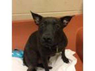 Adopt Black a Black American Pit Bull Terrier / Mixed dog in Milwaukee