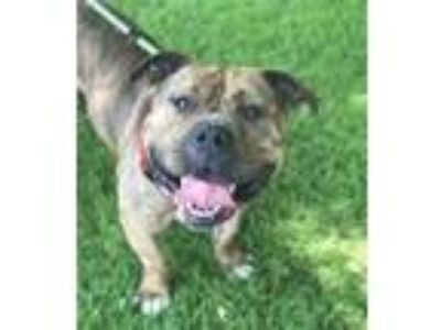 Adopt Supreme a Staffordshire Bull Terrier / Mixed dog in Birdsboro
