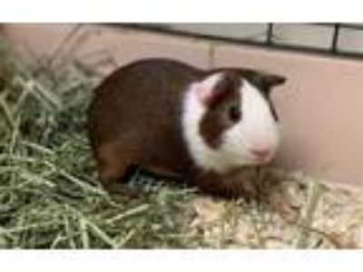 Adopt Jet a Brown or Chocolate Guinea Pig / Guinea Pig / Mixed small animal in