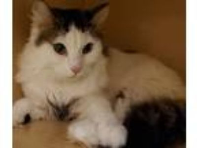 Adopt Gladys a White (Mostly) Domestic Longhair (long coat) cat in South Bend