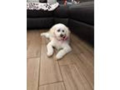 Adopt Isabella a White Poodle (Miniature) / Bichon Frise / Mixed dog in