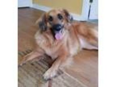 Adopt Mulaney a Red/Golden/Orange/Chestnut Golden Retriever / Shepherd (Unknown
