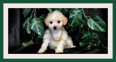 CUTE MALTESE MIXED WITH POODLE PUPS!
