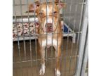 Adopt Robert a Tan/Yellow/Fawn Pit Bull Terrier dog in Knoxville, TN (25936783)