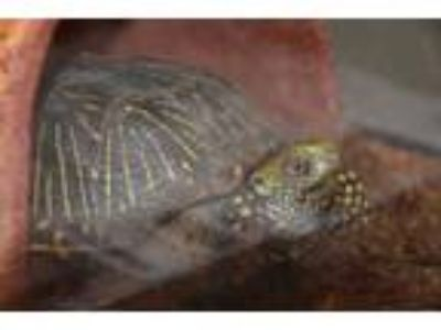 Adopt YURTLE a Turtle - Other / Mixed reptile, amphibian