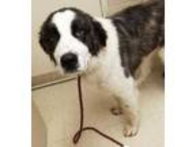 Adopt Andre a Brown/Chocolate St. Bernard / Mixed dog in Noblesville