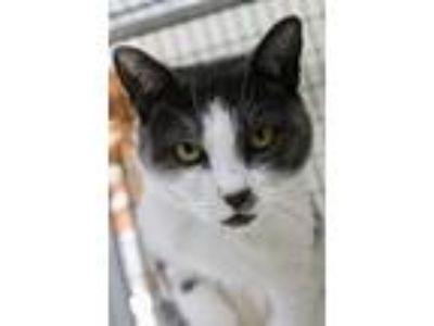 Adopt Autumn a Gray or Blue Domestic Shorthair (short coat) cat in Saranac Lake