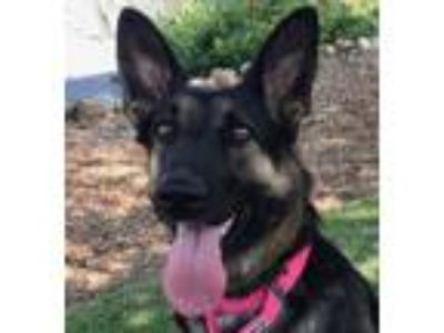 Adopt Abby a German Shepherd Dog, Mixed Breed