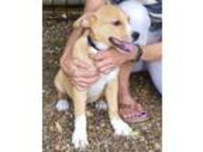Adopt Perry - he is a doll a Golden Retriever, German Shepherd Dog