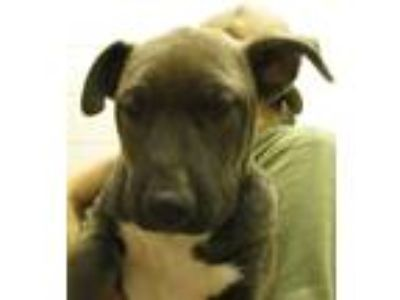 Adopt Enrique a Siberian Husky / American Pit Bull Terrier / Mixed dog in