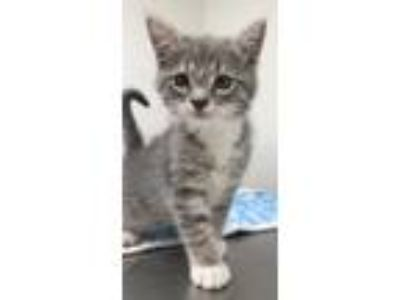 Adopt Fred a Gray or Blue Domestic Shorthair / Domestic Shorthair / Mixed cat in