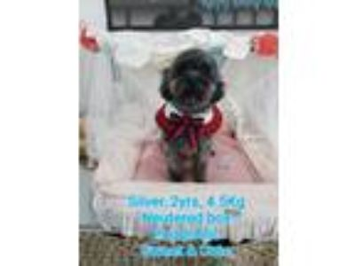 Adopt 'SILVER' a Gray/Blue/Silver/Salt & Pepper Toy Poodle / Mixed dog in Agoura