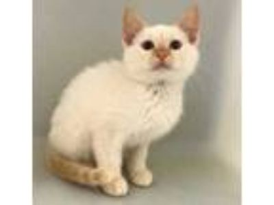 Adopt Mango a Orange or Red Siamese / Domestic Shorthair / Mixed cat in
