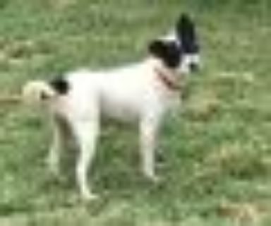 Vixey Rat Terrier - Fox Terrier Dog