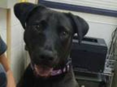 Adopt Sophie a Black Labrador Retriever / Mixed dog in Boulder, CO (25839478)