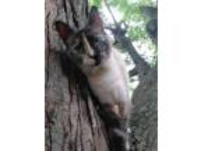 Adopt Azula a Tan or Fawn (Mostly) Siamese cat in Dayton, OH (25328676)