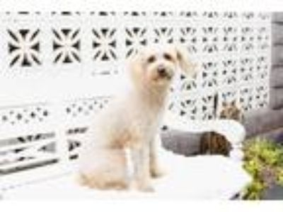 Adopt Harry a Tan/Yellow/Fawn Poodle (Miniature) / Terrier (Unknown Type