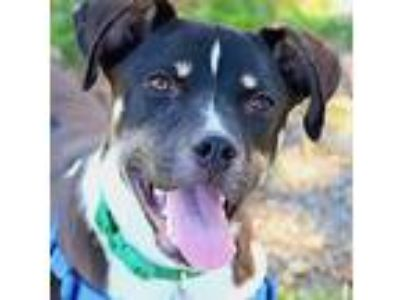 Adopt Luna a American Pit Bull Terrier / Hound (Unknown Type) / Mixed dog in