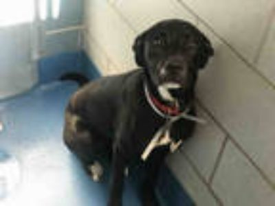 Adopt MAILEY a Black - with White Labrador Retriever / Mixed dog in Dallas