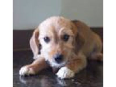 Adopt Levi a Beagle, Yorkshire Terrier