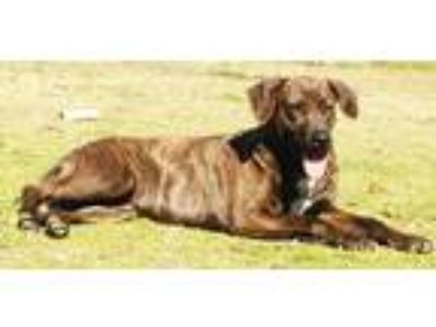 Adopt Madeline a Brindle Mountain Cur / Labrador Retriever dog in Conway