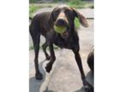 Adopt Midge a German Shorthaired Pointer