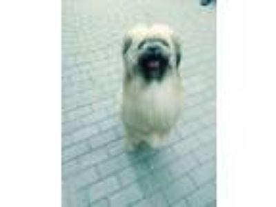 Adopt ChonChon a White - with Black Lhasa Apso / Shih Tzu / Mixed dog in