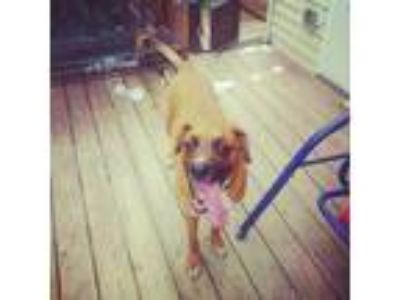 Adopt Charlie a Brown/Chocolate - with Black Boxer / Great Dane / Mixed dog in
