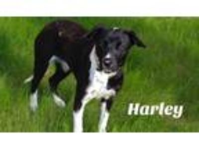 Adopt Harley a Black - with White Border Collie dog in La Crosse, WI (25249266)