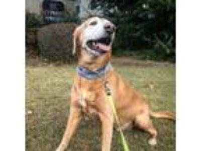 Adopt Samson a Tan/Yellow/Fawn Labrador Retriever / Mixed dog in Canton