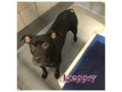 Adopt a Black - with White American Pit Bull Terrier / Mixed dog in San Antonio