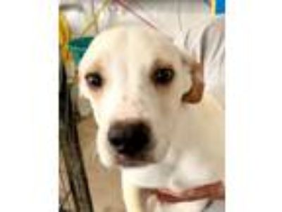 Adopt Aggie a Labrador Retriever, Australian Cattle Dog / Blue Heeler