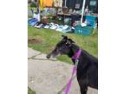 Adopt Tammy a Greyhound