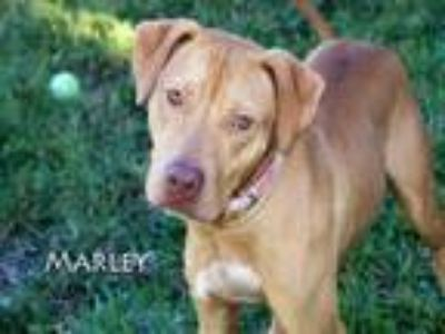 Adopt MARLEY a Pit Bull Terrier, Mixed Breed