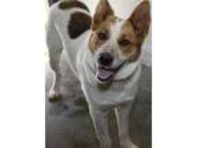 Adopt Buddy a Australian Cattle Dog / Blue Heeler, Collie