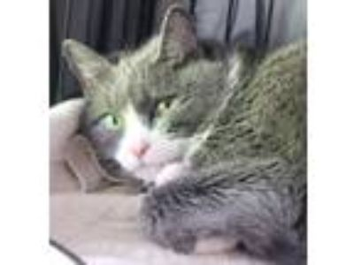 Adopt AC-Cassie a Domestic Medium Hair