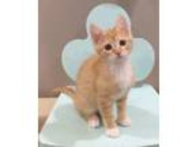 Adopt DANDELION a Orange or Red (Mostly) Domestic Shorthair (short coat) cat in