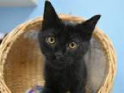 Adopt Jesse a Domestic Short Hair